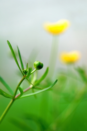 uncultivated: close up of bud of buttercup, with yellow flowers in background