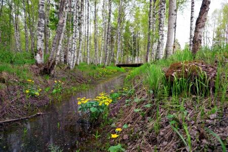 gully: Marsh marigold flores de barranco en el bosque de abedul escandinavo Foto de archivo