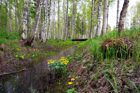gully: Marsh marigold flowers by gully in Scandinavian birch forest