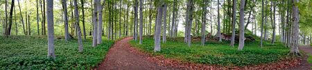 new path: Panoramic view of aspen trees in park in early summer