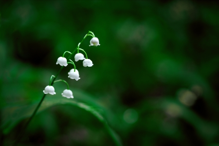 uncultivated: Close up of lily of the valley in Swedish forest with dark green background Stock Photo