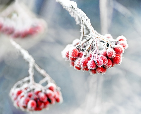 Bunch of rowan berries with ice crystals on blue cold sky photo