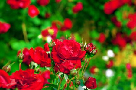 vividly: vividly red roses and buds on bush in deep green garden