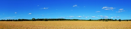 panoramic view of wheat field with blue sky photo