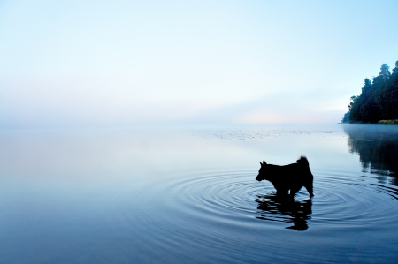 silhouette of black dog playing in shallow water in lake on foggy morning Banque d'images