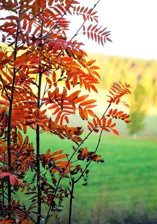 rowan tree: colorful leaves of rowan tree in rural landscape in autumn Stock Photo