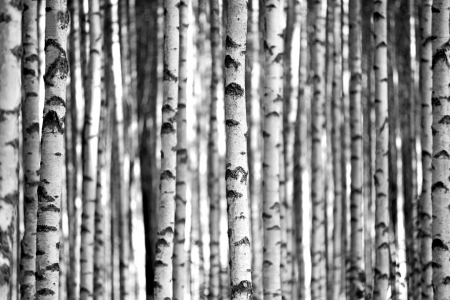 Trunks of birch trees in black and white Stock Photo