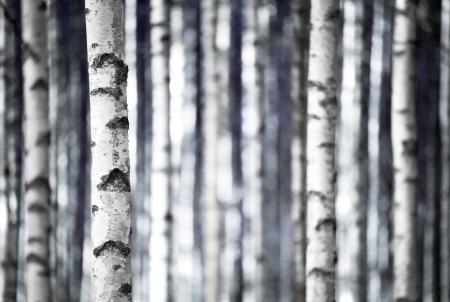バーチの木、青の色合いのモノクロのトランク