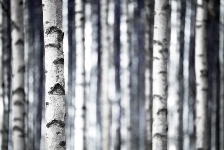 파란색의 그늘에서 자작 나무 나무, 단색의 트렁크 스톡 콘텐츠