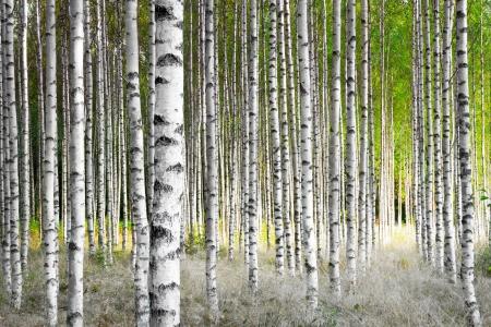Birch trees in bright sunshine in late summer Foto de archivo