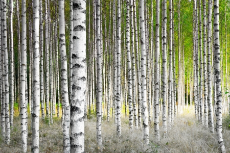 Birch trees in bright sunshine in late summer Stock Photo
