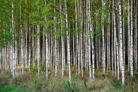 birch tree: Grove of  birch trees in bright sunshine in late summer Stock Photo
