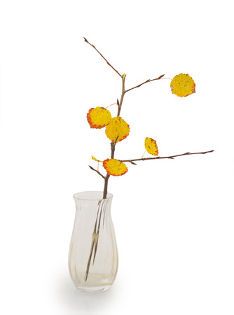 aspen leaf: vase with twig of aspen tree and leaves in autumn colors Stock Photo