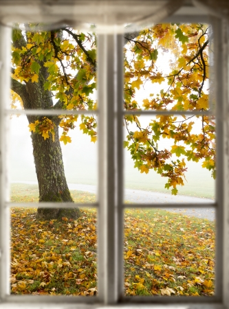 Big maple tree in autumn colors seen through old window with wooden frame on foggy morning Stock Photo