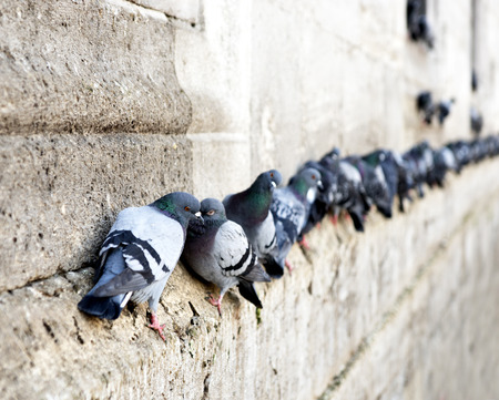 pigeon: pigeons in a row on ancient stone wall