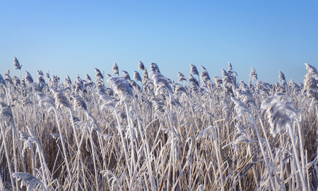 Reeds with rime frost on blue sky