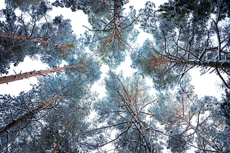 tree canopy: Tree canopy with conifers covered in snow and rime frost