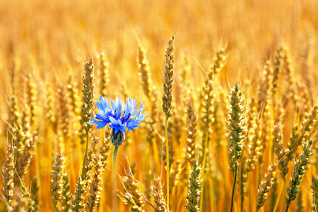 Blue cornflower with golden ripe wheat in field photo