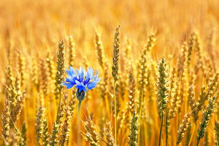 bachelor s button: Blue cornflower with golden ripe wheat in field