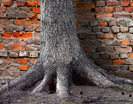 rooted: Big tree firmly rooted in front of old brick wall