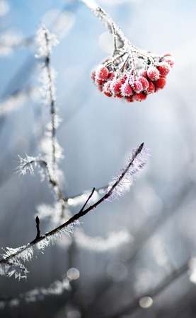 Bunch of frozen rowanberries and branches with ice crystals