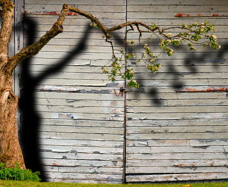 Blossoming apple tree with shadow on garage door with peeling paint and rusty metal details photo