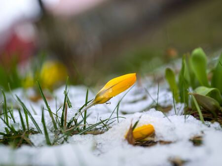 snow flowers: yellow crocus and grass in melting snow