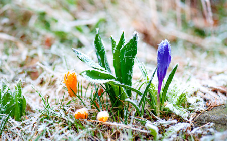 rime frost: Purple and yellow crocuses with rime frost in early spring