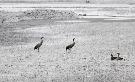 migrated: Common crane birds on field with frozen grass, just migrated to Scandinavia in early spring