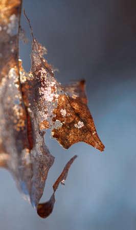decomposed: Cierre de la hoja seca parcialmente descompuesta durante el invierno Foto de archivo
