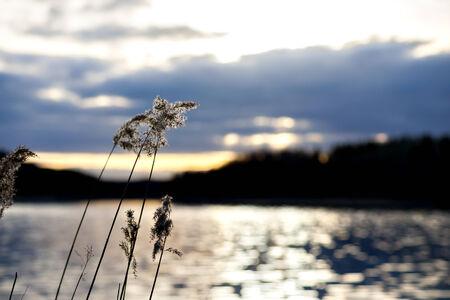 reed: Reeds by beautiful Swedish lake at sunset