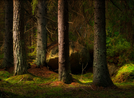 Forest with conifers and big boulder in magic evening light