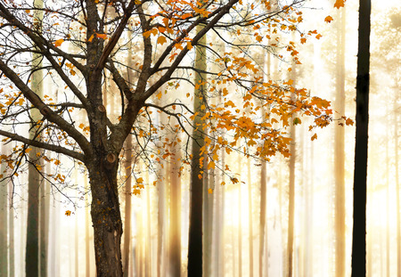 Maple tree with yellow autumn leaves in forest at sunset