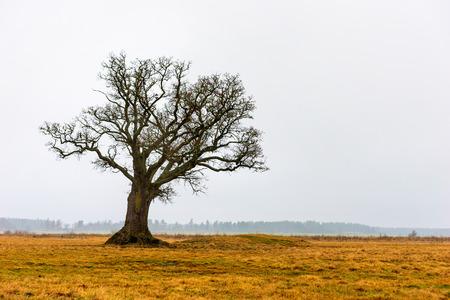 Bare old oak tree in yellow autumn landscape