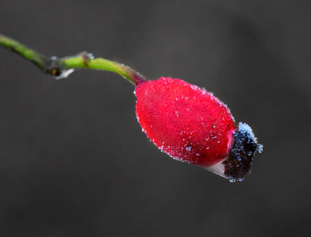 rime frost: Close up of rose hip with rime frost Stock Photo