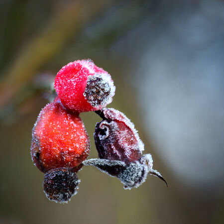 rime frost: Close up of rose hips with rime frost Stock Photo