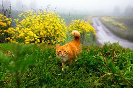 landscape mode: Ginger cat in hunting mode in rural landscape