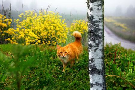 cape mode: Ginger Katze im Jagdbetrieb in l�ndlichen Landschaft mit Birken im Vordergrund