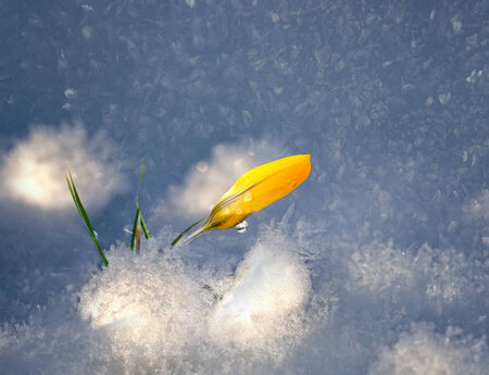 snow drops: Yellow crocus in snow with ice crystals Stock Photo