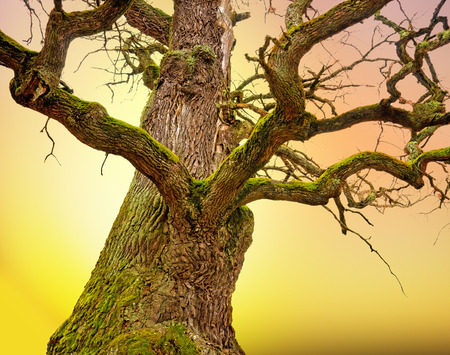 mighty: Mighty bare oak tree with green moss in early spring, on colorful background Stock Photo
