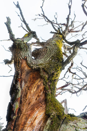 gigantic: Close up of gigantic ancient oak tree with green fungus on bright background Stock Photo