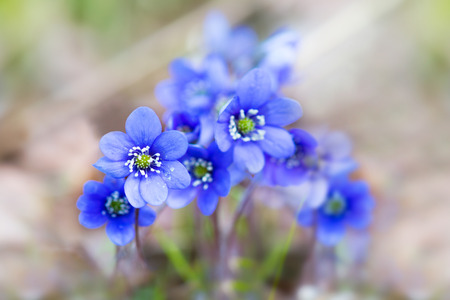 liverwort: Close up of bunch of blue or purple liverwort flowers in scandinavian forest on sunny day in early spring