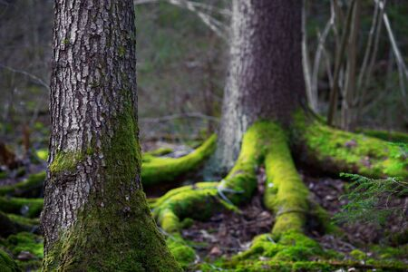 Close up of trunk of conifer tree  in wilderness area  in Scandinavia. Root covered in green fungus in background photo
