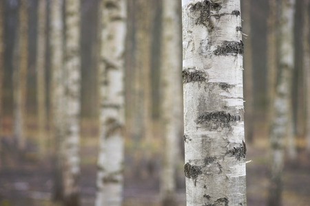 早春の裸の白樺の木のトランクのクローズ アップ
