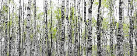 早春の葉の新緑と白樺の木の幹を持つフォレスト