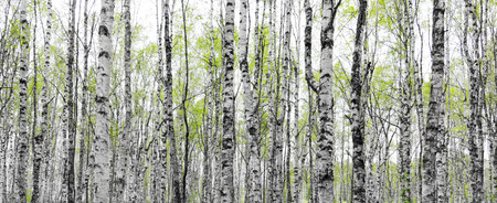Forest with trunks of birch trees with fresh green leaves in early spring Standard-Bild