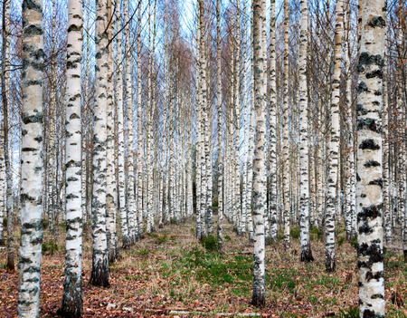 birch tree: Forest with trunks of bare birch trees on blue sky in early spring