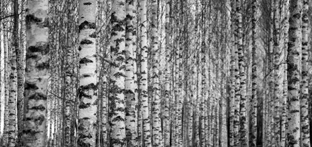 Forest with trunks of birch trees in black and white Stock Photo