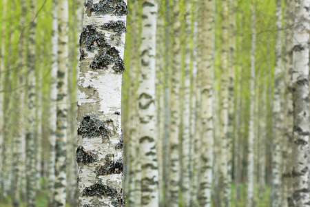 Close up of trunk of birch tree in Swedish forest, with fuzzy lush foliage background in early spring