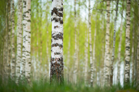 birch forest: Trunk of birch tree in Swedish forest, with fuzzy lush foliage background in early spring